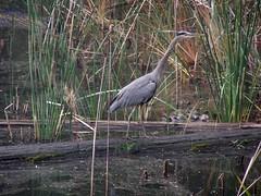 20061119 Blue Heron