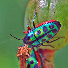 Calidea dregii (Rainbow Shield Bug) (jay_kilifi) Tags: blue red green bug garden rainbow kenya beetle shield iridescent kilifi specnature animalkingdomelite calideadregii rainbowshieldbug macrophotosnolimits