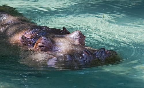 Hippopotamus Surfacing