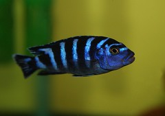 African Cichlid (kotobuki711) Tags: blue pet fish black water aquarium long tank african scales striped fins cichlid