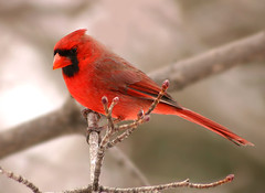 Beauty on a Gray Day (nature55) Tags: germantown nature birds wow outdoors bravo searchthebest quality aves ornithology northerncardinal specanimal animalkingdomelite abigfave breakfromcandles