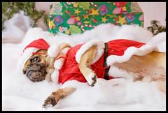Yoda - Christmas Pug Portrait ([Christine]) Tags: santa christmas dog cute costume yoda pug