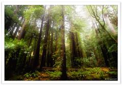 Muir Woods in Rain (noushin photography) Tags: sanfrancisco california november trees red tree green rain topv111 2006 muirwoods