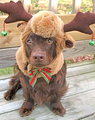 MooseMas Teddy (thanks Bulldog1 for name suggestion!) (Doxieone) Tags: christmas red dog brown green interestingness long teddy chocolate moose 2006 dachshund antlers explore deck v final porch exploreinterestingness haired mostpopular ggg 1002 doxie longhaired onexplore final2 topfavorite explored abigfave impressedbeauty holidayseason2006set teddyset 105728043008 christmaspast2008set ddate