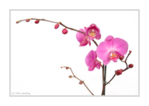 Orchid Phalaenopsis (indoor plants)