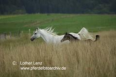 _LE55556 (Lothar Lenz) Tags: horse caballo cheval cavallo cavalo pferd hest equus paard hst fohlen hestur konj hobu zirgs shagyaaraber lotharlenz itzbacherhof
