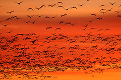 ...The last of the Waterfowl Migration... (Random Images from The Heartland) Tags: bird nature birds southdakota sunrise geese aves wetlands migration snowgeese coots