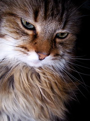 ...Syd  (May He Rest In Peace) (mightyquinninwky) Tags: boy portrait cute male topf25 30 cat wow perfect 10 5 lovely1 rip fave explore mainecoon trophy crown topv777 500views 500 20 50 75 inspire 70 1500 60 1000 1000views 1on1 topfav25 helluva blueribbonwinner topf30 1500views lovephotography cc100 123ac 1on1petsphotooftheday kodakv570duallens mywinners abigfave bfv1 shieldofexcellence cc1600 ci33 bestofcats 123ndpl 30faves30comments300views impressedbeauty superaplus aplusphoto mpressedbeauty cat800 polstarscontacts topfav35 50faves50comments500views boc0207 1on1petsphotoofthedaymar2007 camfmar excellentphotographerawards 75faves 220comments exploreformyspacestation