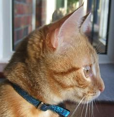 Buddy_closeup (-meryl-) Tags: orange cute cat furry feline tabby buddy creamsicles moggie