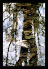 El otoño en el agua (el Ent) (DavidGorgojo) Tags: autumn trees reflection hoja film water 35mm leaf agua árboles fuji superia asturias reflejo otoño pelicula ent 100club occidente minoltadynax5 elfranco 50club porcía abigfave