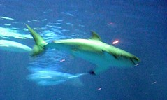 ocean california fish water aquarium shark monterey greatwhite oceanlife