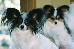 A pair of Papillons (jacksonpe) Tags: dog chien pet cão cane small continental hond perro hund papillon spaniel madra pedigree nain epagneul собака