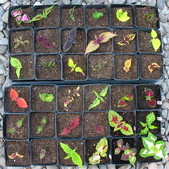 Coleus Cuttings (Top View) (joeysplanting) Tags: cuttings coleus
