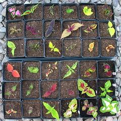 Coleus Cuttings (Top View) (joeysplanting) Tags: cuttings coleus