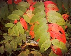 snaq3422 (Chuck Kahn) Tags: red toronto ontario canada leaves sumac