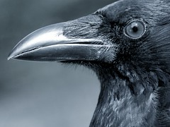 Eye to eye (Harry Mijland) Tags: bird eye animal spooky crow alpha raven raaf vogel a100 oog kraai jackdaw kauw dearharry specanimal sonyalpha harrymijland