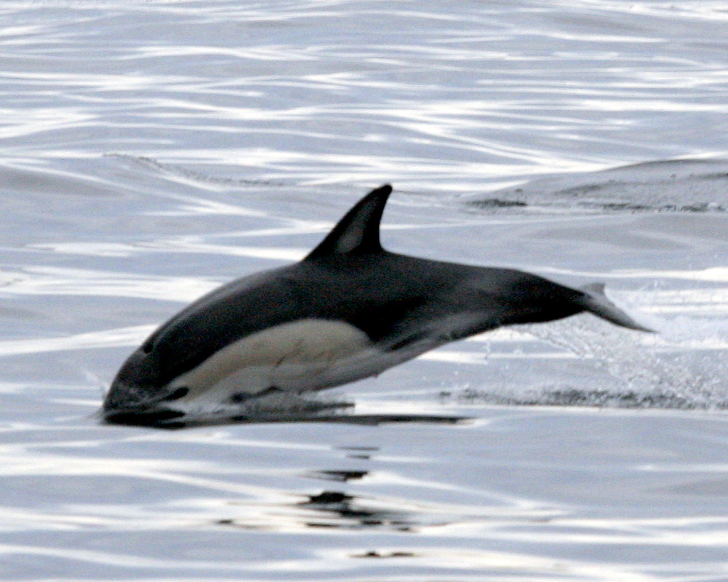 Black and White Dolphin -- Animal Photos!