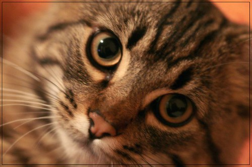 Soft Focus Cat With Gorgeous Yellow Eyes Animal Photos