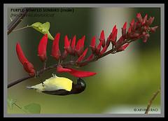 Purple-rumped sunbird (Arvind Rao) Tags: sunbird purplerumped