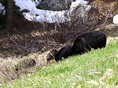 BI097 Black Bear and Cubs (listentoreason) Tags: canada nature animal geotagged mammal places banff