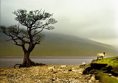 Sheep on Loch Lomond (jody9) Tags: film topf25 mediumformat landscape scotland sheep lochlomond springtime pentax6x7