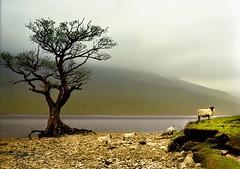 Sheep on Loch Lomond (jody9) Tags: film topf25 mediumformat landscape scotland sheep lochlomond springtime pentax6x7