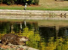 Otter and Other Pond Friends! (shesnuckinfuts) Tags: heron birds pond wildlife ducks furryfriday otters animalplanet greatblueheron backyardpond kentwa featheryfriday animaladdiction specanimal otterfamily shesnuckinfuts wastatewildlife autumnanimals