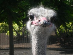 DSCN4352 (ikiPQ) Tags: grancanaria avestruz telde