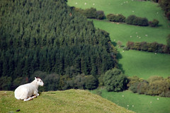 sheep! (Joe Dunckley) Tags: uk mountains animals wales landscape sheep breconbeacons gwent powys payitforward brecknockshire