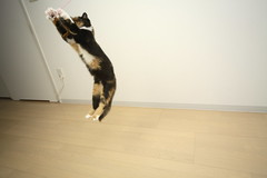IMG_2669 (junku) Tags: cats cat canon fun eos jump jumping kitten sigma kitties nana 5d 猫 ねこ ネコ canoneos5d sigma1224mmf4556exdgasphsm eos5d airbornecats そらとぶねこ