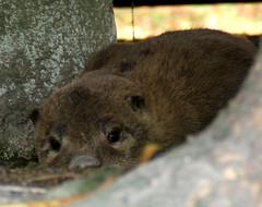 Being Sneaky! (shesnuckinfuts) Tags: furryfriday coolest otters animalplanet sneaking backyardpond kentwa october2006 animaladdiction specanimal otterfamily animalkingdomelite shesnuckinfuts washingtonstatewildlife