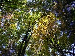 looking up (Navas) Tags: autumn trees forest germany woods utatathursdaywalk28