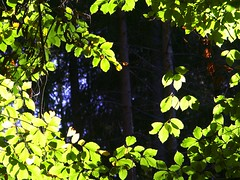 leafy (Navas) Tags: autumn trees leaves forest germany woods utatathursdaywalk28