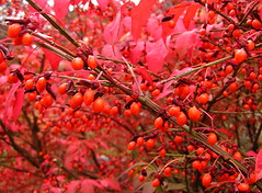 euonymous branches (Muffet) Tags: autumn red berries dof utatathursdaywalk28