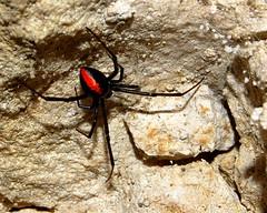Female Redback (The Sage of Shadowdale) Tags: d50 spider dangerous 1855mmf3556g venomous redback latrodectusmactanshasselti