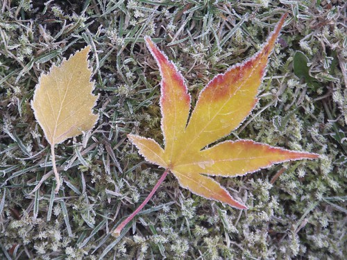 Frosted Yellow Leaves