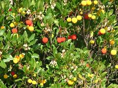The Strawberry Tree - Arbutus unedo (puffin11uk) Tags: croatia arbutus dubrovnik strawberrytree arbutusunedo puffin11uk