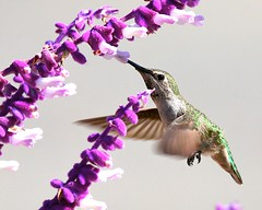 Beauty in Motion (Don Baird) Tags: flower bird nose grey bravo hummingbird purple searchthebest quality hummer humming naturesfinest magicdonkey animalkingdomelite abigfave greenhummingbird
