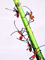 assassins in attack mode (getthebubbles) Tags: red green fall bug insect florida kodak assassinbug reduviidae getthebubbles utatathursdaywalk28