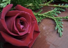 Y sigo (_Zahira_) Tags: red flower rose lafotodelasemana rojo flor rosa nd ngr 100vistas ltytr1 top20red