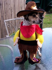 Marshall Dillon is in the house (mind'seye..(Pat)) Tags: eye halloween toy costume explore terrier fox sheriff rosey 10faves ohmydog barnyardfunnies