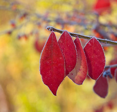 Frost (Red and Gold) (roddh) Tags: sunset red leaves yellow interesting bush nikon raw background d70s burning acr roddh nikonstunninggallery