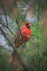 Red Hot.... (hvhe1) Tags: red bird nature birds animal animals interestingness cardinal wildlife finch interestingness11 specanimal animalkingdomelite abigfave hvhe1 hennievanheerden