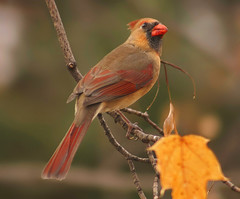 If there were Beauty Pagents for birds... (nature55) Tags: red germantown nature birds outdoors aves northerncardinal specanimal animalkingdomelite abigfave