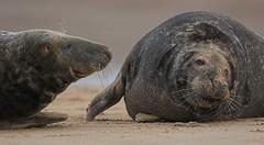 Grey Seal  2458 (tim stenton www.TimtheWhale.com) Tags: seal greyseal donnanook