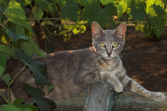 Yellow eyes (Alessandro Scoppa) Tags: cats nature animal animals yellow natura occhi gatto soe gatti animali omot catnipaddicts