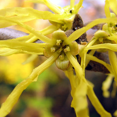 close-up of witch hazel bloom
