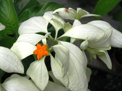 Mussaenda philippica 'Aurorae' or 'Dona Aurora'