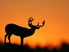 ...Sunset Buck... (Random Images from The Heartland) Tags: chris sunset nature animal animals silhouette southdakota ilovenature quality deer bailey prairie plains buck mothernature chrisbailey inthecountryside chrisbaileyimages