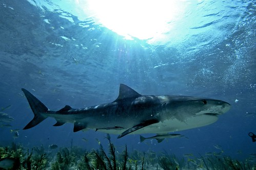 Tiger Shark Under the Sun in the Bahamas